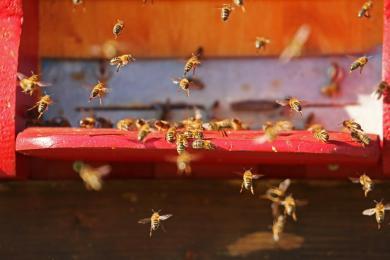 Chorzów kupuje leki dla pszczół