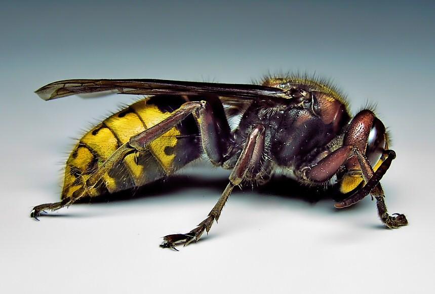 W upały osy i szerszenie coraz bardziej dają się we znaki - jak reagować na te owady?