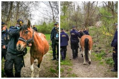 Koń-uciekinier złapany przez chorzowską Straż Miejską