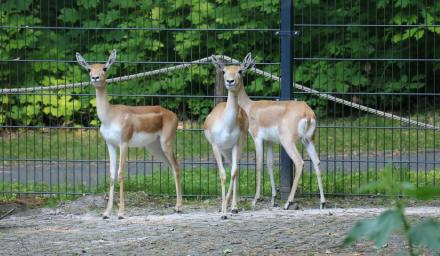 Śląski Ogród Zoologiczny ma nowych mieszkańców! To antylopy indyjskie