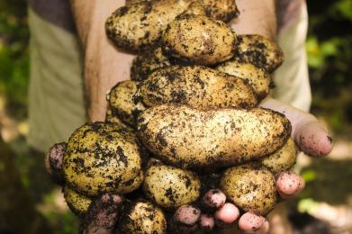 Dzień Kartofla w Skansenie już w najbliższą sobotę!