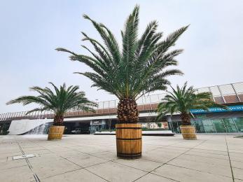 Sezon na palmy na Rynku zakończony. Muszą przezimować w ciepłym miejscu